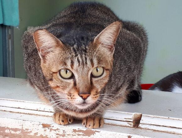 Adopt Lucy | Cat Adoption Vietnam Animal Aid and Rescue