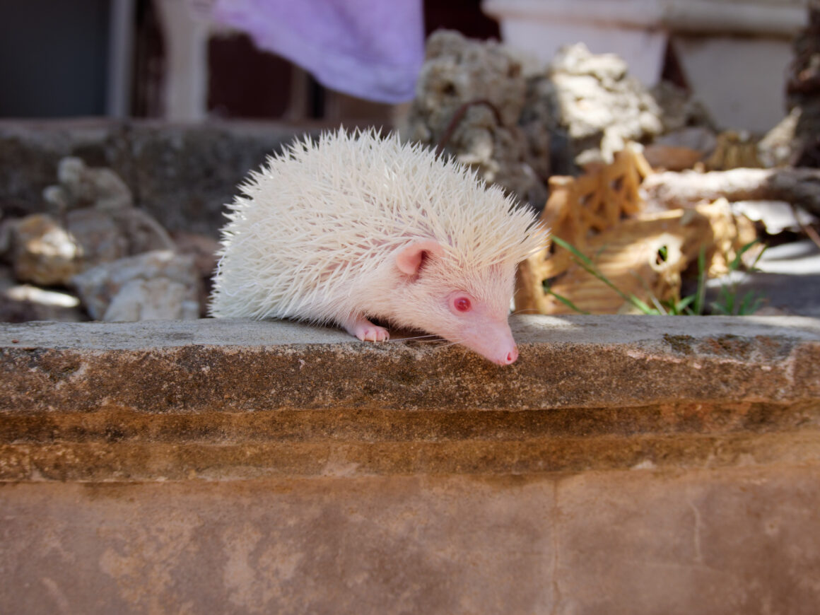 Adopt an African Pygmy Hedgehog | Vietnam Animal Aid and Rescue