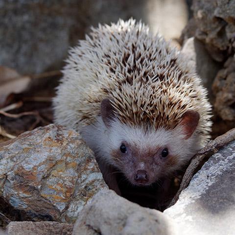 Adopt African Pigmy Hedgehog | Vietnam Animal Aid and Rescue