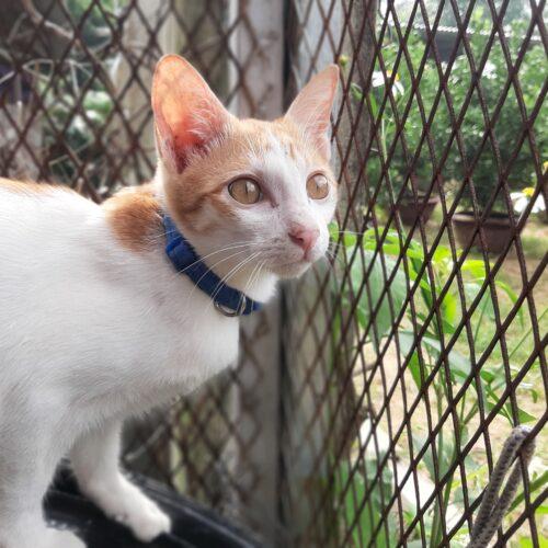 Adopt Bennington | Cat adoption Vietnam Animal Aid and Rescue