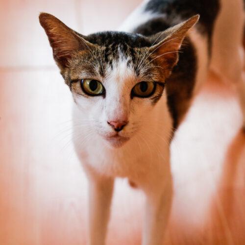 Cats for Adoption | Alfie | Vietnam Animal Aid & Rescue