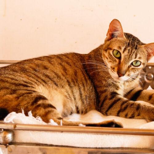 Adopt Frankie | Cat adoption Viietnam Animal Aid and Rescue