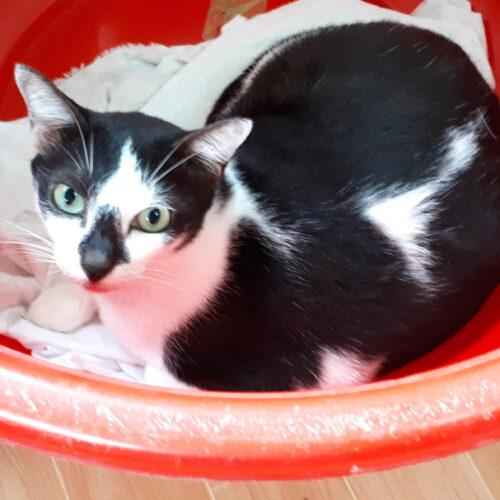 Adopt Jack | Cat adoption Vietnam Animal Aid and Rescue
