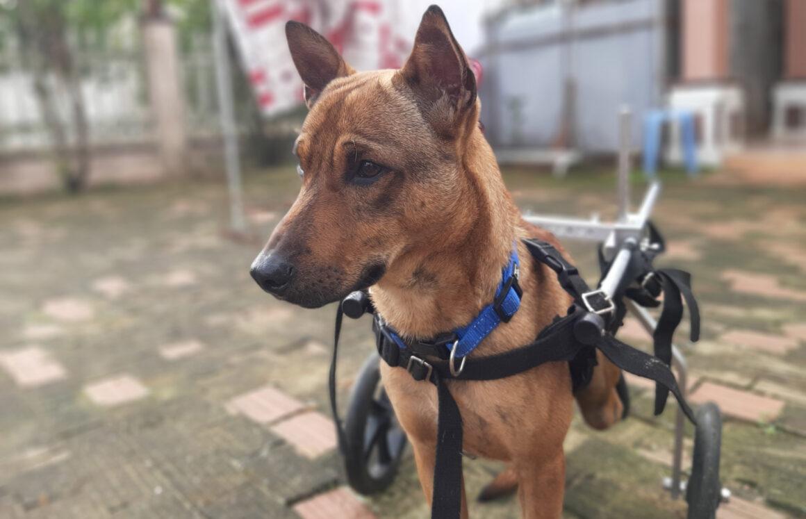Adopt Jackpot | Dog adoption Vietnam Animal Aid and Rescue