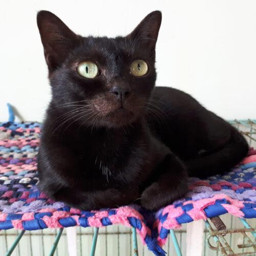 Adopt Palmer | Cat adoption Vietnam Animal Aid and Rescue
