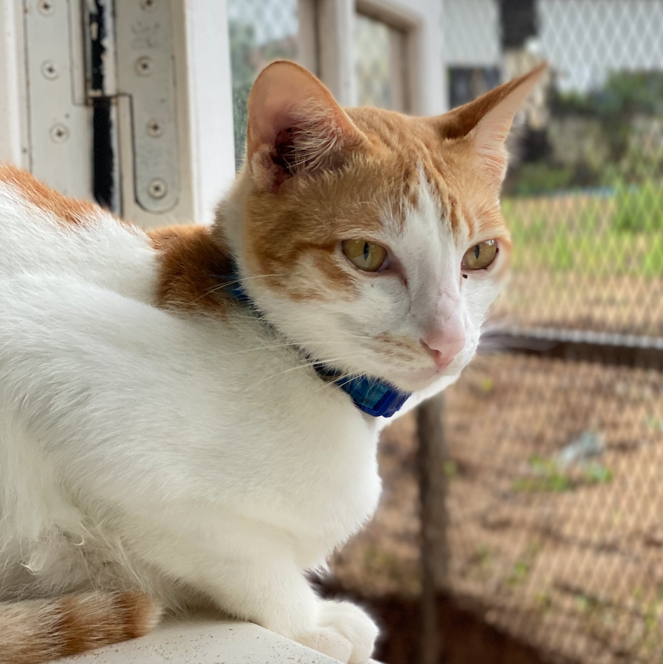 Adopt Bennington | Cat adoption Vietnam Animal Aid and Rescue