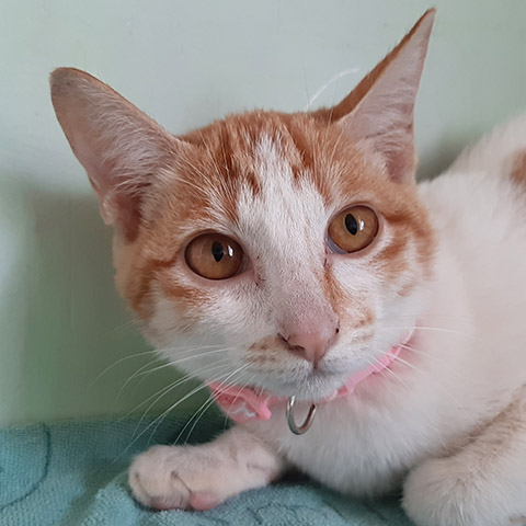 Adopt Shawny | Cat adoption Vietnam Animal Aid and Rescue