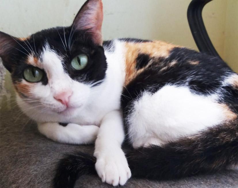 Adopt Luna | Cat adoption Vietnam Animal Aid and Rescue