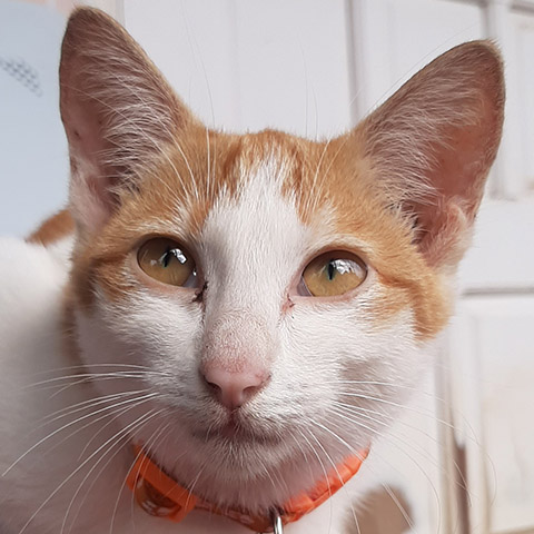 Adopt Keiki | Cat adoption Vietnam Animal Aid and Rescue