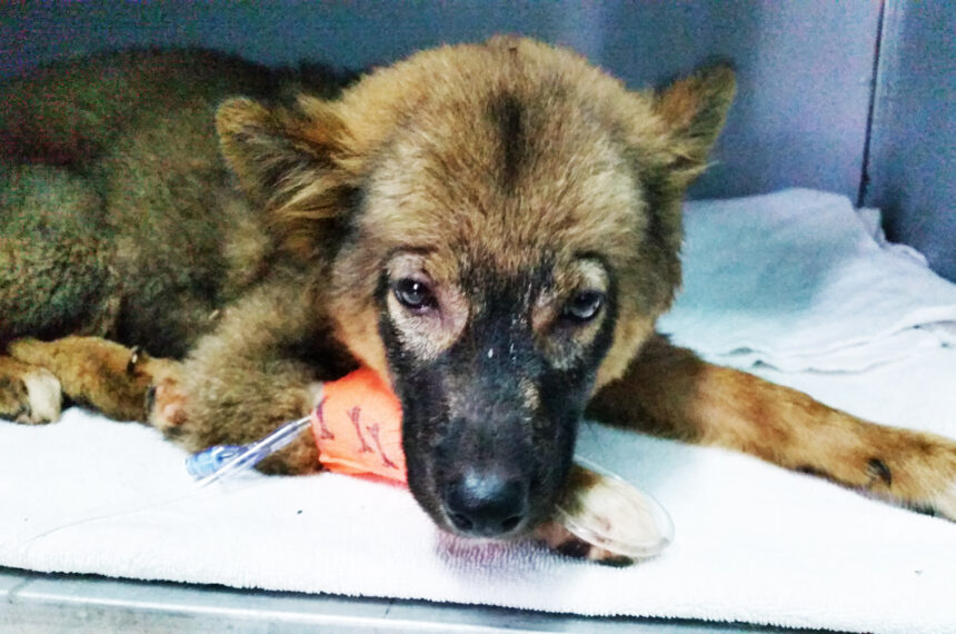 Puppy Veterinary Clinic | Vietnam Animal Aid and Rescue